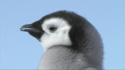 Emperor penguin chick close-up Footage