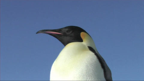 Emperor penguin close-up Stock Video Footage