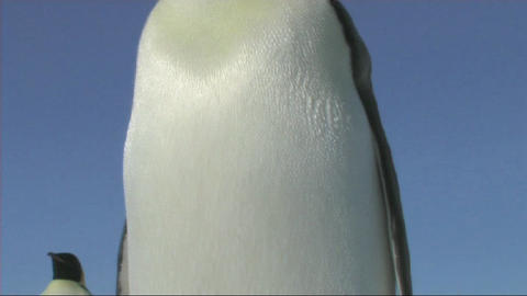 Emperor penguin head to toe Stock Video Footage