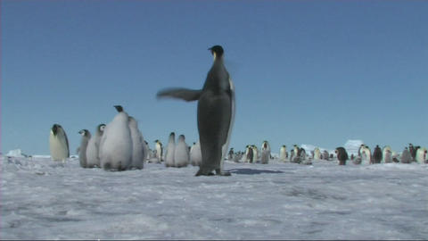 Emperor penguin Stock Video Footage