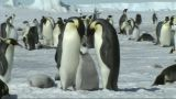 Emperor Penguin Family stock footage