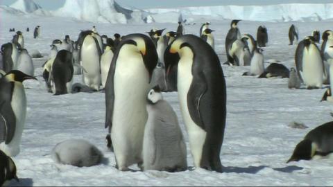 Emperor penguin family Footage