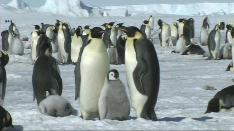 Emperor penguin family Footage