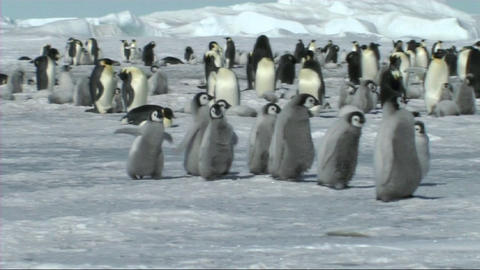 Emperor penguin chicks Stock Video Footage