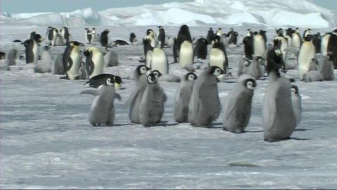 Emperor penguin chicks Footage