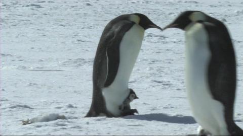 Emperor penguins Footage