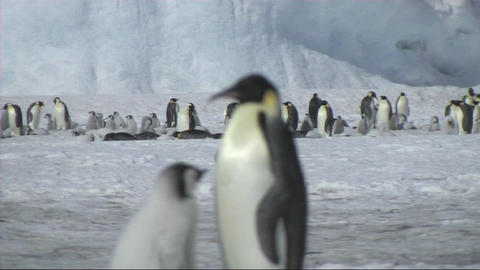 Emperor penguin chick asking for food Footage