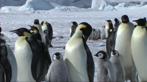 Emperor penguins Footage