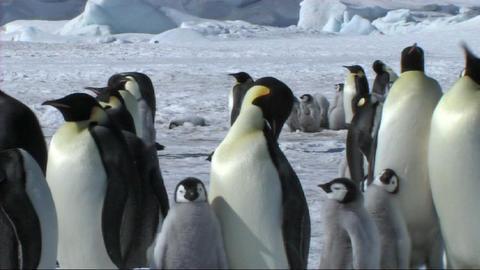 Emperor penguins Stock Video Footage