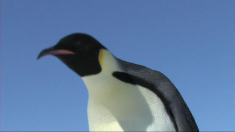 Emperor penguin looking around Footage