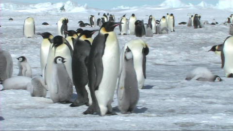 Emperor penguins walking away Stock Video Footage