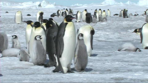 Emperor penguins walking away Footage