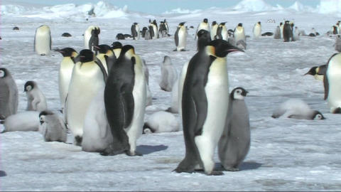 Emperor penguins walking away Stock Video Footage