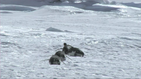Emperor penguin walking on the ice Stock Video Footage