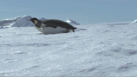Emperor penguin sliding on its belly Stock Video Footage