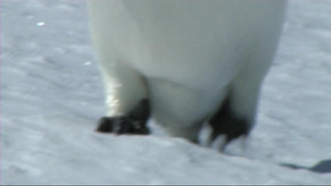 Emperor penguin feet Stock Video Footage