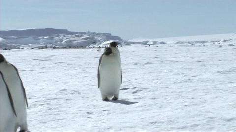 Emperor penguins walking Footage