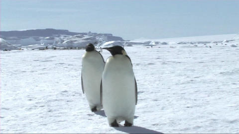Emperor penguins walking Stock Video Footage