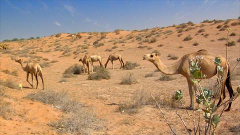 many wild dromedary in desert Stock Video Footage