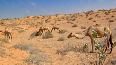 many wild dromedary in desert Stock Video Footage