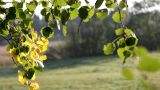 Birch Branch At Autumn Sunrise stock footage