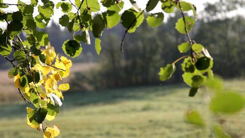 birch branch at autumn sunrise Stock Video Footage