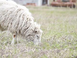 Sheep eat grass. The first spring grass. 320x240 Footage