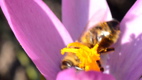 Bee on a First Spring Flower - Crocus Footage