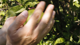 Citrus Orange Fruit Hands Close Up stock footage