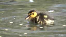 Mallard Duck Footage