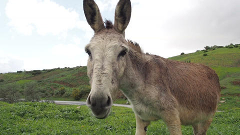 Donkey on Rainy Hillside Eating Grass 3 - FT0041 Footage