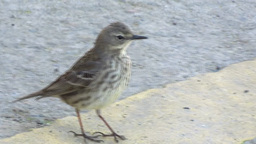 Rock Pipit stock footage