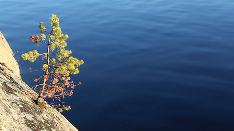 Small pine on a sunny lakeside cliff Footage