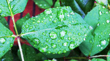New Leaves With Spring Rain Water Drops stock footage