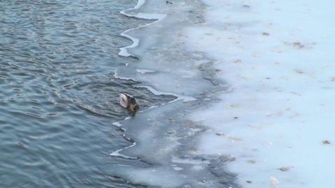 Mallard Duck Trying To Get Under Ice Footage