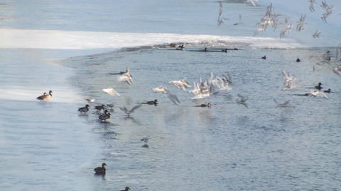 Flock Of Flying Seagulls Over A Frozen River stock footage