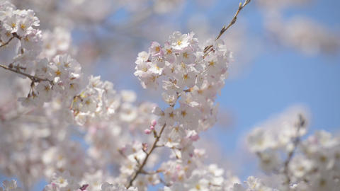 Cherry Blossoms,in Showa Kinen Park,Tokyo,Japan stock footage