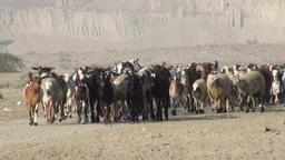 Goats in Iranian desert Footage