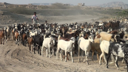 Shepherd and his goats in Iran desert Footage