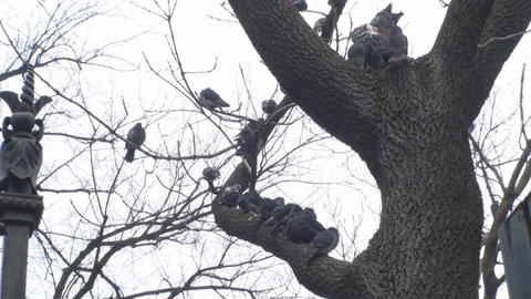 Pigeons On A Tree Branch stock footage