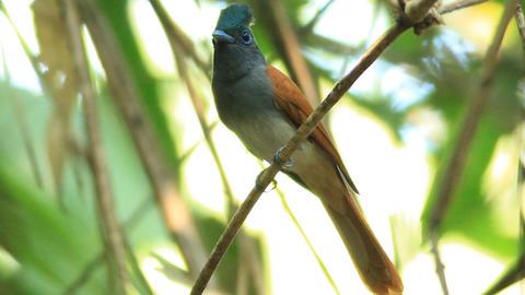 Asian paradise flycatcher Live Action