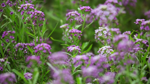 Lilac Flowers on the Defocused Background Footage