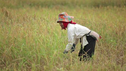 Farmer harvesting rice field Footage