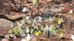 Colorful tropical butterflies Footage