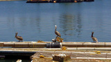 Three Pelicans On A Floating Dock stock footage