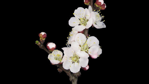 Time-lapse of blooming apricot branch 1b1 Live Action