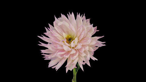 Time-lapse of dying pink dahlia flower 6x1 GIF