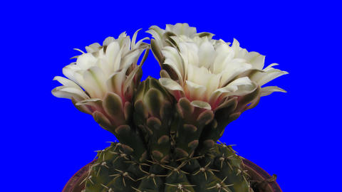 Time-lapse of blooming white cactus buds 3L1 isola Footage