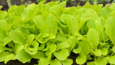 Green Salad on Farm Closeup, Motorized Dolly Shot Footage