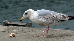 Herring Gull Footage